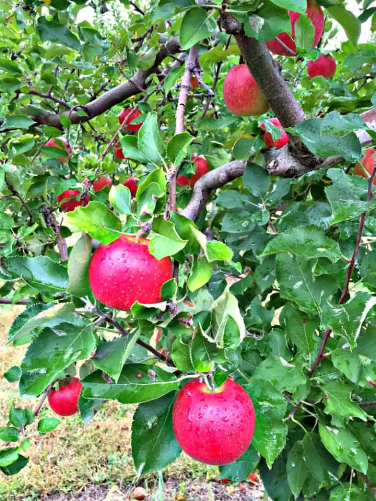Ripe, crisp apples ready to pick and make into Classic Dutch Apple Pie